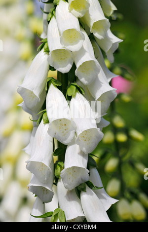 Common Foxglove (Digitalis purpurea), white flowers, medicinal plant, poisonous plant, Schleswig-Holstein - Stock Photo