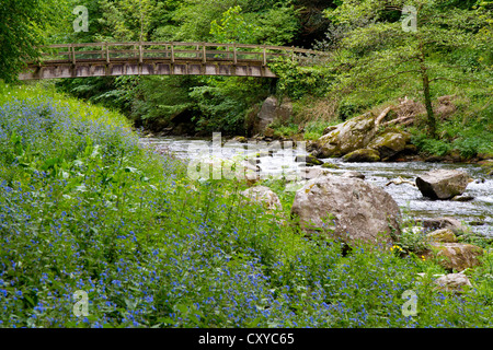 Bluebells on Lynmouth to Watersmeet walk along the River Lyn in Devon England. - Stock Photo