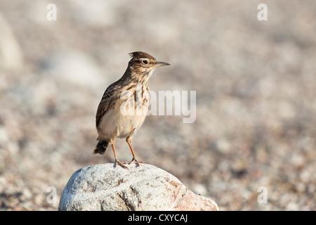 Crested Lark (Galerida cristata), Cirali, Turkey, Asia Minor - Stock Photo