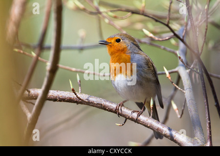 Robin (Erithacus rubecula), singing perched on twig, Bavaria - Stock Photo