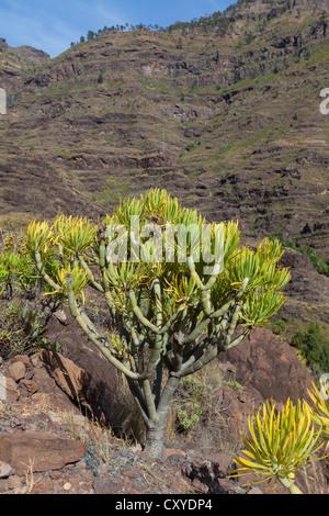 Mountain chain and an Euphorbia bush (Euphorbia sp.), El Pie de la Cuesta, Roque Bentaiga, Gran Canaria, Canary - Stock Photo