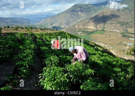 Farmers working on an irrigated field growing peppers (Capsicum annuum) in the Andean highlands, African-Ecuadorian - Stock Photo