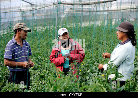 Agricultural engineer, aid worker, advising farmer in a greenhouse with tomato plants (Solanum lycopersicum) - Stock Photo