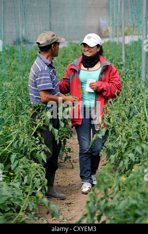 Agricultural engineer, aid worker, advising farmer in a greenhouse with tomato plants (Solanum lycopersicum), community - Stock Photo
