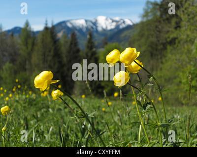Globe flower (Trollius europaeus), Tegernsee valley, Upper Bavaria, Bavaria - Stock Photo
