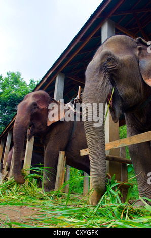 Elephants in a camp training Mahoots in Luang Prabang, Laos. - Stock Photo