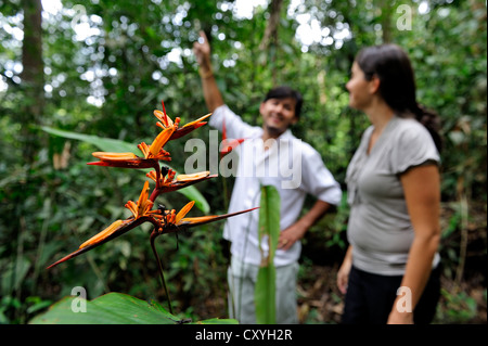 Forestry experts in the Amazon rainforest, a flowering heliconia (Heliconia), Belem, state of Para, Brazil, South - Stock Photo