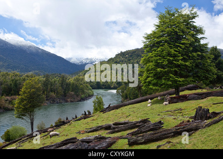 Sheep grazing on the banks of the Rio Palena river, Carretera Austral, Ruta CH7 road, Panamerican Highway, Region - Stock Photo