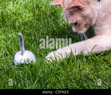 Red Burmese cat playing with a toy mouse on grass