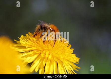 Bumblebee (Bombus sp.), feeding on a Dandelion flower (Taraxacum sp.), detail view - Stock Photo