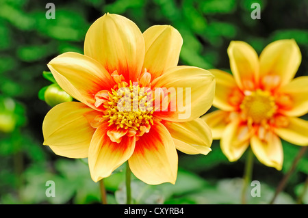 Dahlia (Dahlia sp.), flowers - Stock Photo