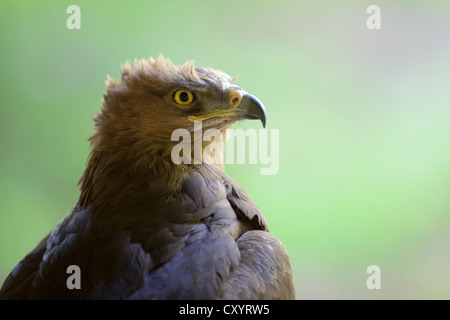 Lesser Spotted Eagle (Aquila pomarina), Neuschoenau outdoor animal enclosure, Bavarian Forest, Bavaria, PublicGround - Stock Photo