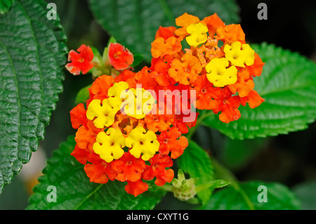 Spanish Flag or West Indian Lantana (Lantana camara), flowers, ornamental plant, North Rhine-Westphalia - Stock Photo