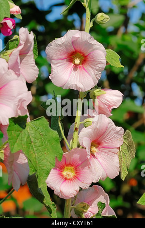 Common hollyhock (Alcea rosea, Althaea rosea, Althaea chinensis), garden plant, North Rhine-Westphalia - Stock Photo