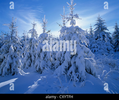 Snow covered Spruce trees (Picea abies), Thuringian Forest, Thuringia - Stock Photo