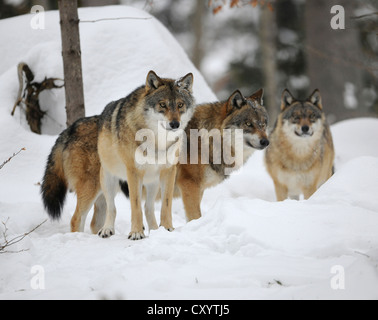 Wolves (Canis lupus), in the snow, wildlife enclosure of the Bavarian Forest National Park, Bavaria - Stock Photo