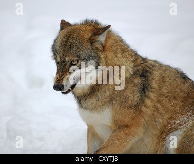 Wolf (Canis lupus) baring its teeth, in the snow, wildlife enclosure of the Bavarian Forest National Park, Bavaria - Stock Photo
