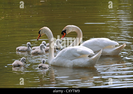 Mute Swans (Cygnus olor), two adult birds with chicks, Plothener Ponds, Thuringia - Stock Photo