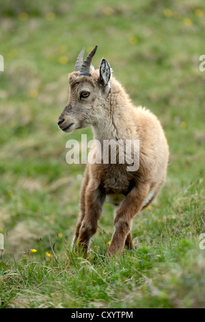 Young Alpine Ibex (Capra ibex), Mt Niederhorn, Switzerland, Europe - Stock Photo