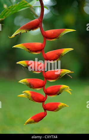 Lobster claw, False-bird-of-paradise (Heliconia rostrata), Manuel Antonio National Park, Costa Rica, Central America - Stock Photo