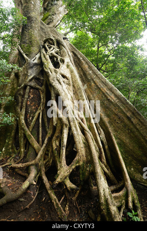 Buttress roots of the Stranger Fig (Ficus subgenus Urostigma) in the Rincon de La Vieja National Park, Guanacaste, - Stock Photo
