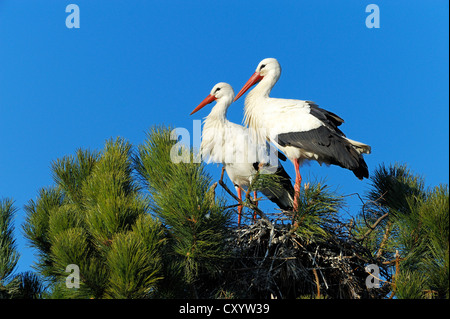 White Storks (Ciconia ciconia) sitting on a nest, Muri, Switzerland, Europe - Stock Photo
