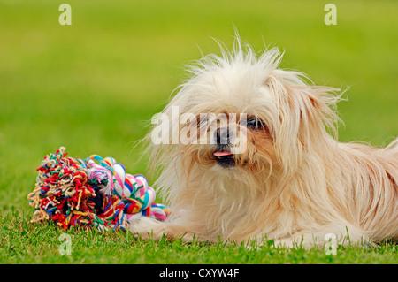 Toy Mi-Ki, a rare breed of dog (Canis lupus familiaris) - Stock Photo