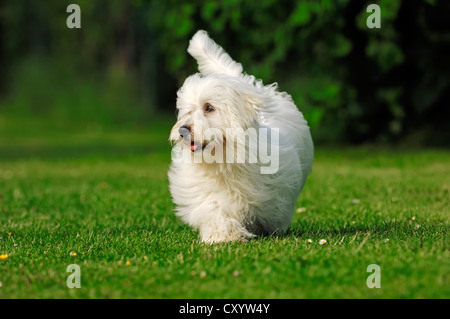 Coton de Tulear, dog (Canis lupus familiaris) - Stock Photo