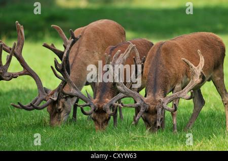 Red deer (Cervus elaphus), grazing, state game reserve, Lower Saxony, PublicGround - Stock Photo