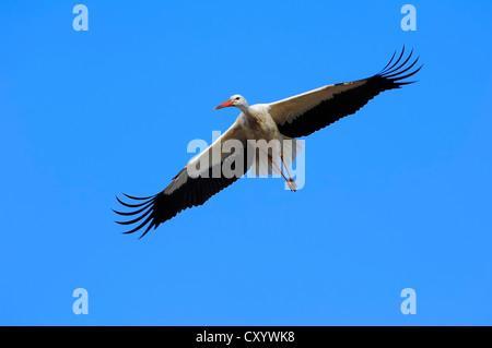 White stork (Ciconia ciconia) in flight, North Rhine-Westphalia - Stock Photo
