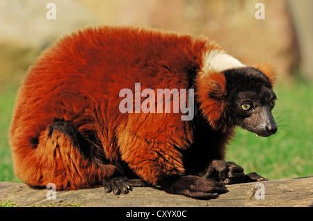 Black-and-white ruffed lemur (Varecia variegata rubra, Varecia variegata ruber), native to Madagascar, captive - Stock Photo