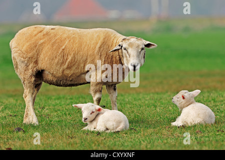 Domestic Sheep (Ovis orientalis aries), ewe and lambs on a pasture, North Holland, Netherlands, Europe - Stock Photo