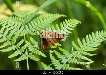 Rust-coloured Large Skipper (Ochlodes venatus), male, Moenchbruch Nature Reserve, Hesse - Stock Photo
