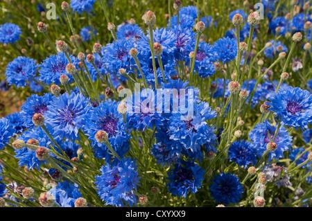 Blue cornflowers (Centaurea cyanus), Dreieich-Goetzenhain, Hesse - Stock Photo
