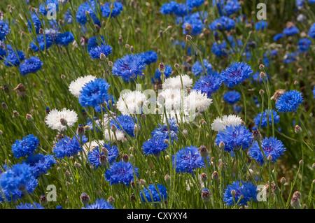 Blue cornflowers (Centaurea cyanus) and white mutant forms, Dreieich-Goetzenhain, Hesse - Stock Photo
