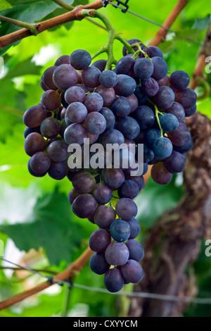 Table grapes (Vitis vinifera) growing on vine in greenhouse in Flemish Brabant, Flanders, Belgium - Stock Photo