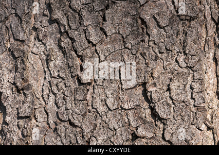 Bark of a Common Horse Chestnut (Aesculus hippocastanum), detail, Moenchbruch Nature Reserve, near Frankfurt, Hesse - Stock Photo