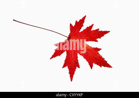Maple (Acer sp.), leaf in autumn, native to Asia, garden plant, ornamental trees and shrubs - Stock Photo
