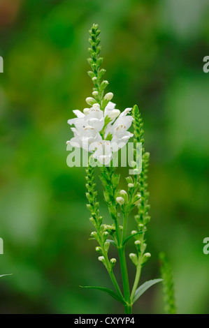 Obedient Plant or False Dragonhead (Physostegia virginiana), native to North America, garden plant - Stock Photo