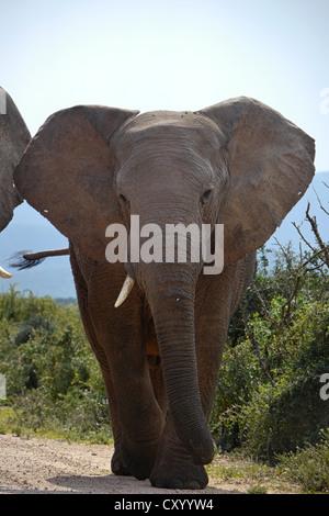 elephant walking down road - Stock Photo