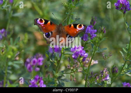 European Peacock butterfly (Aglais io / Inachis io) on wildflowers in meadow - Stock Photo
