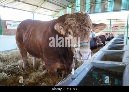 Copper ring in the nose of cattle (Feria Internacional Ganadera) Fair at International livestock fair at Zafra, - Stock Photo