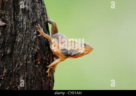 Oriental Garden Lizard, Eastern Garden Lizard or Changeable Lizard (Calotes versicolor), male, Keoladeo Ghana National - Stock Photo