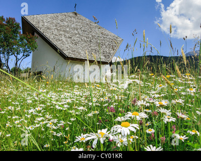 Flower meadow with daisies (Leucanthemum vulgare) in front of a chapel, Axamer Lizum, Tyrol, Austria, Europe - Stock Photo