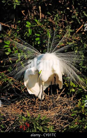 Great Egret or Great White Egret (Casmerodius albus, Egretta alba), displaying on the nest, Florida, USA - Stock Photo