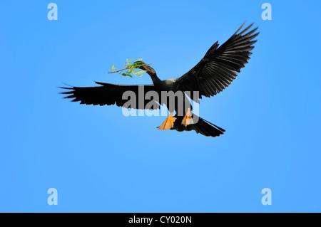 Anhinga or American Darter (Anhinga anhinga), male flying with nesting material, Florida, USA - Stock Photo