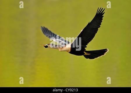 Anhinga or American Darter (Anhinga anhinga), female in flight, Florida, USA - Stock Photo