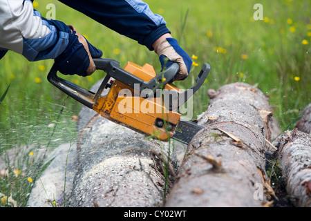Cutting a spruce log with chainsaw , Finland