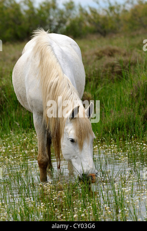 Camargue horse foraging in a wetland, Camargue, France, Europe - Stock Photo