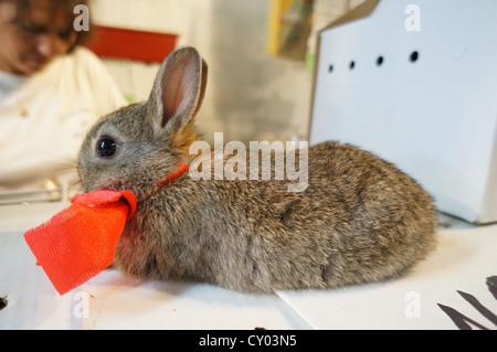 Fair at International livestock fair, Gray rabbit bunny baby with red bow tie at Zafra, Spain - Stock Photo